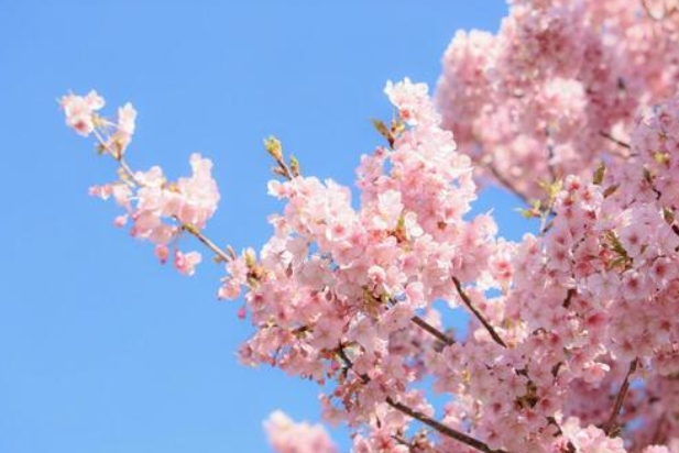 もうすぐ桜の季節です。。🌸